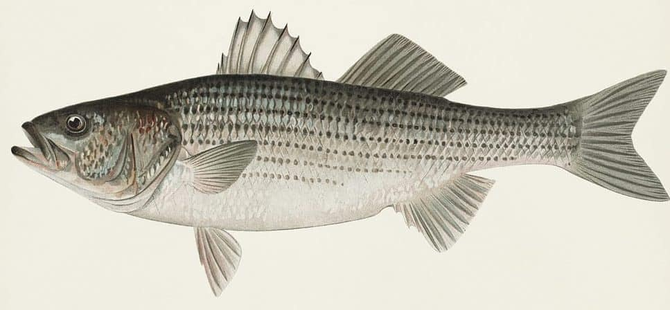 what do striped bass eat