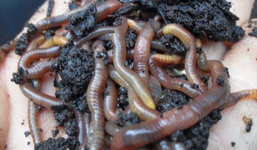 worms for catfish