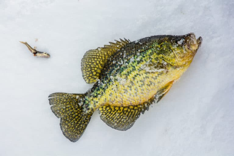How To Crappie Fish With Minnows