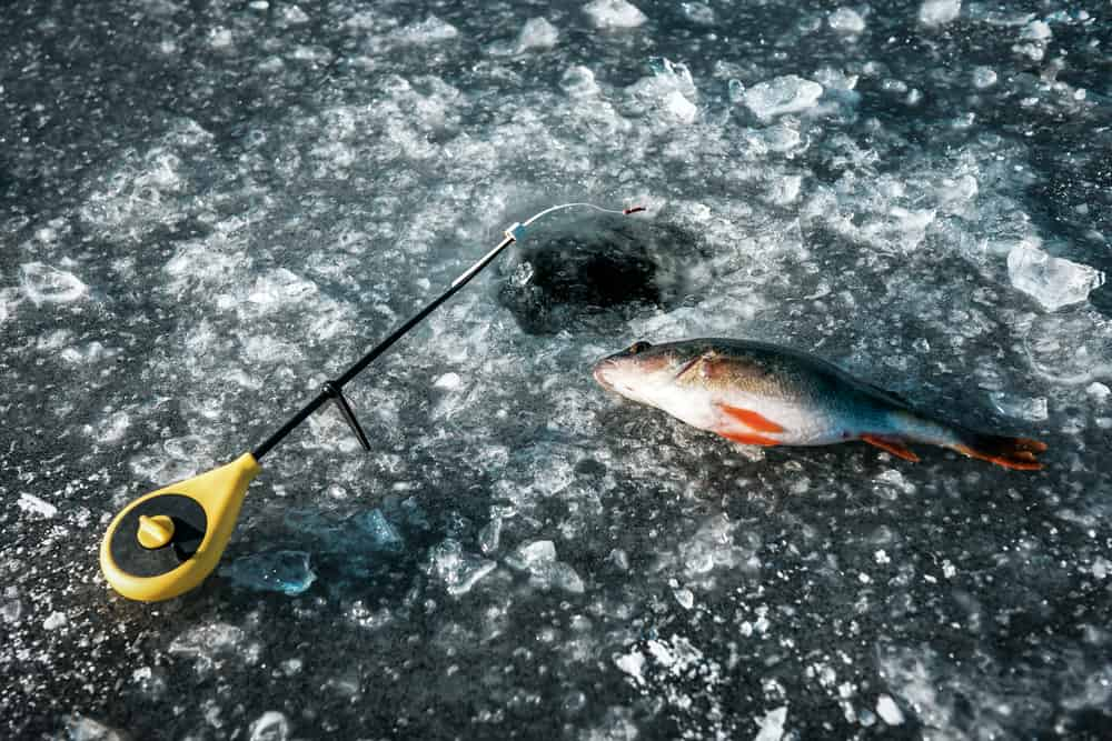 How To Catch Finicky Perch Ice Fishing